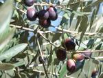 olivenoir.jpg